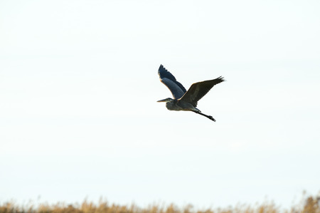 Great Blue Heron in flight over marsh with wings high Stock Photo