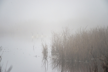 shrouds: Misty morning shrouds reeds along rivers edge