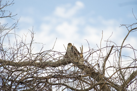 sighting: Perched juvenile Coopers Hawk appears mesmerized by sighting Stock Photo