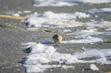 glower: Horned Lark pauses foraging to glower at intruder