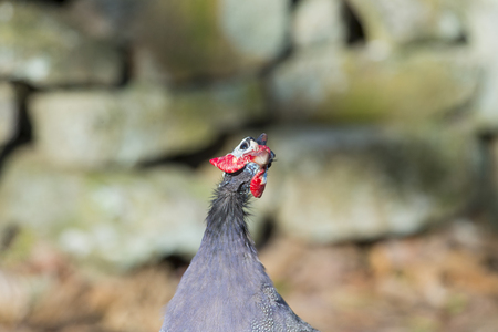 appears: Guineafowl appears to be staring longingly at the sky