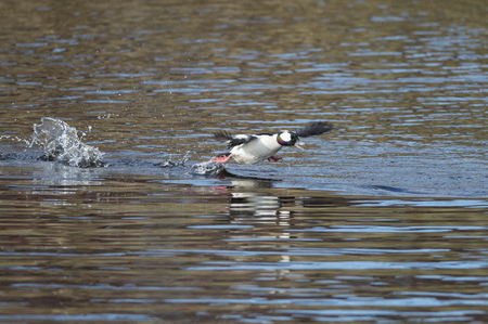 Bufflehead races across water to gain enough speed to fly