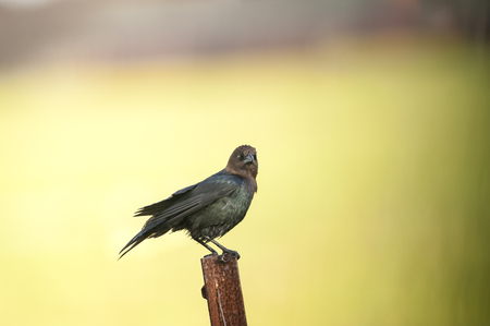 perched: Brown-headed Cowbird perched on rusted post
