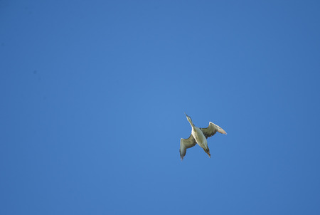 gavia: Common Loon passing directly overhead