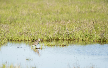 salt marsh: Willet making its presence known in salt marsh