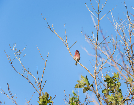 curving: House Finch perched on a curving branch