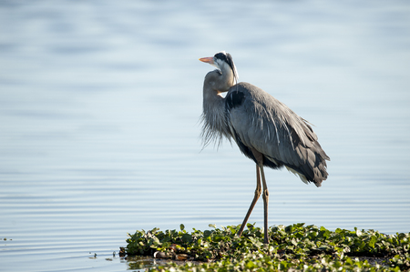 Plumage on Great Blue Heron (Ardea herodias) Stock Photo