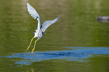 blue fish: Great Blue Heron flies away with small fish