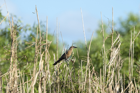 perched: Female Boat-tailed Grackle perched comfortably on reed