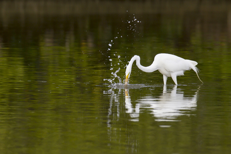 plunges: Great Egret plunges after prey in shallow water