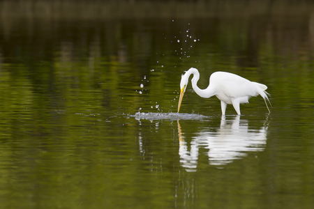 pinellas: Great Egret plunges after prey in shallow water