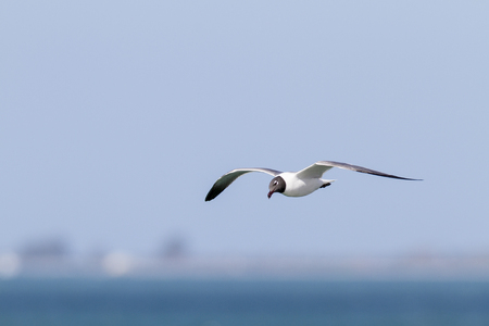 glide: Laughing Gull tilts head during glide
