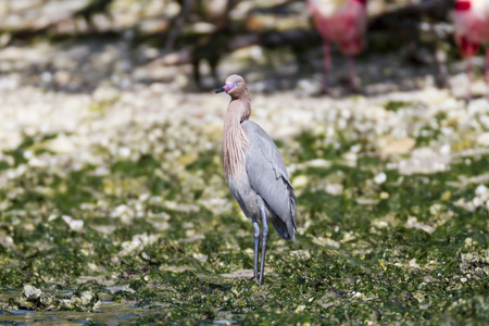 reddish: Reddish Egret takes a breather on beach Stock Photo