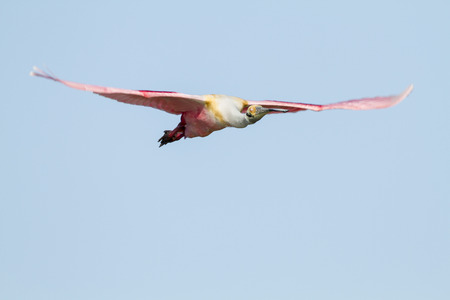 membrane: Nictating membrane gives Roseate Spoonbill zombie look Stock Photo