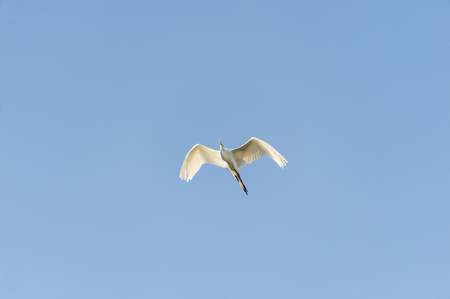ardea: Great Egret soaring past on its own mission
