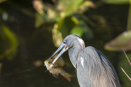 stab: Tricolored Heron uses powerful bill to stab fish