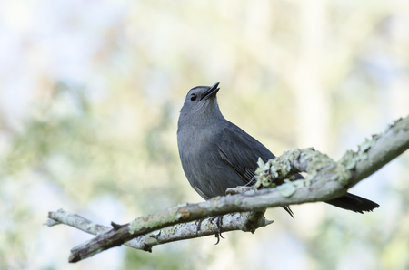 catbird: Gray Catbird perches alertly on branch in Corkscrew Swamp