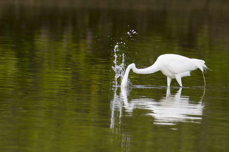 pinellas: Great Egret goes after prey in shallow water