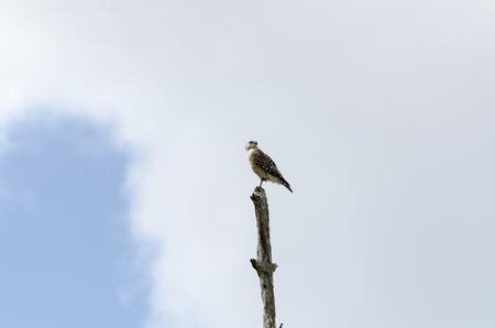 over the shoulder: Red-shouldered Hawk peers over shoulder from top of dead tree