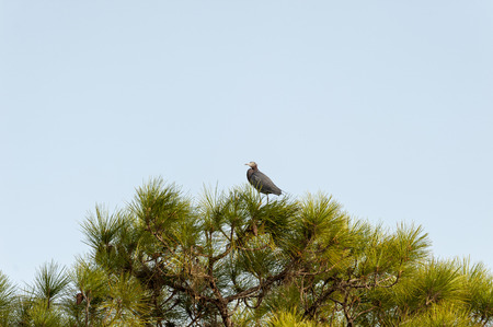 Little Blue Heron perched in pine at Babcock-Webb Wildlife Management Area 写真素材