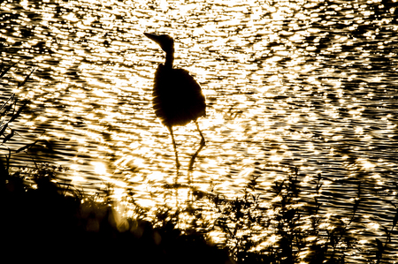 river county: Glare of sun on foraging bird wading in shallows