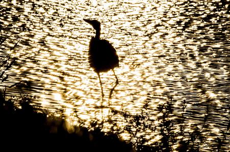 glare: Glare of sun on foraging bird wading in shallows