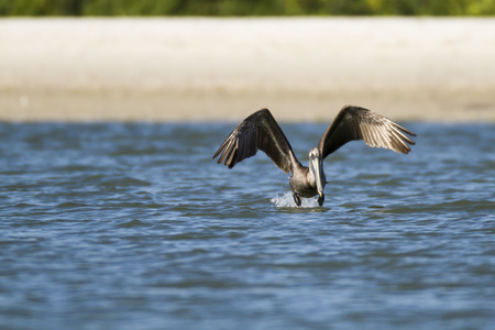 tampa bay: Brown Pelican flaps furiously to get off water