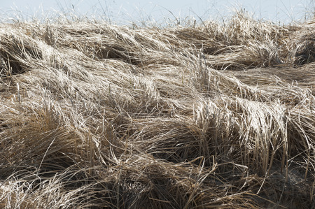 cape cod: Tangle of flattened marsh grass along Cape Cod Bay Stock Photo