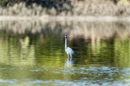 pinellas: Tricolored Heron makes eye contact while foraging lagoon