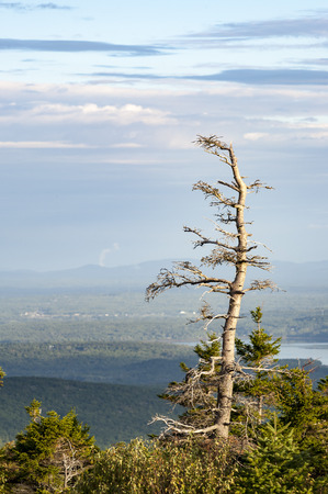 Scraggly pine tree against hazy Cadillac Mountain vista