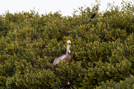Brown Pelican takes in surroundings from wall of mangrove tree