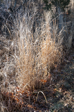 sidelit: Reeds sidelit by early morning sun Stock Photo