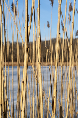 phragmites: Wall of phragmites in marshy area along frozen pond Stock Photo