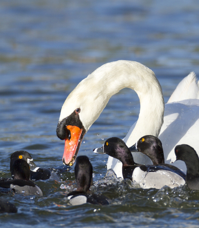 distracted: Ring-necked Ducks move in to steal food from distracted mute swan