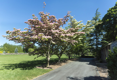 Chinese Fringe Tree blossoming in mid-June at Haskell Gardens in New Bedford, Massachusetts