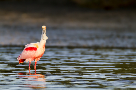 tampa bay: Roseate Spoonbill shallow water eye contact reflection shoreline Stock Photo