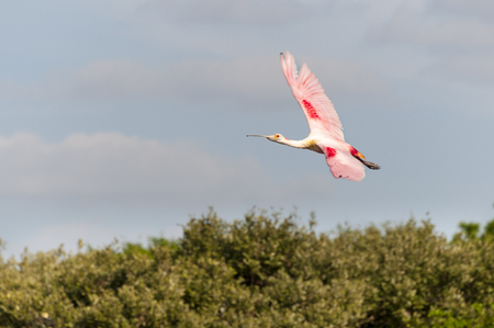 roseate: Colorful Roseate Spoonbill banking over mangrove trees