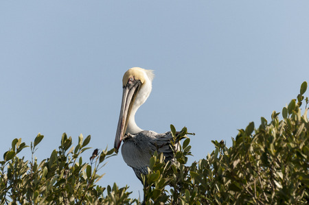 tampa bay: Brown Pelican perches high in a mangrove tree Stock Photo