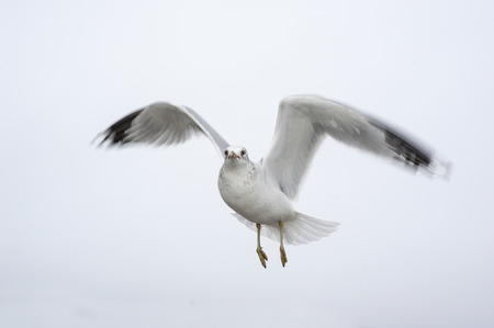 Intent gull hovers in position ready to move quickly Stock Photo