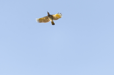flicker: Northern Flicker from below wings spread backlit