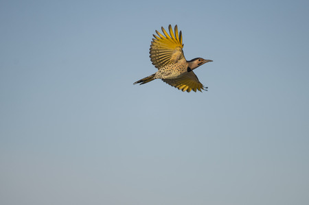 Yellow-shafted Northern Flicker spreads its wings Archivio Fotografico