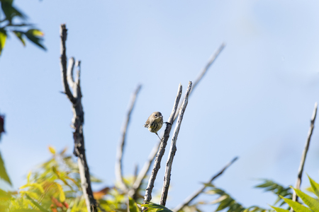 warbler: Yellow-rumped Warbler makes eye contact from steep perch