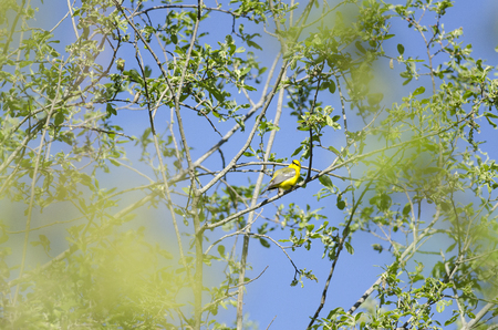 warbler: Blue-winged Warbler twists around for better look