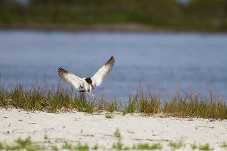 pinellas: American Oystercatcher flares wings for beach landing