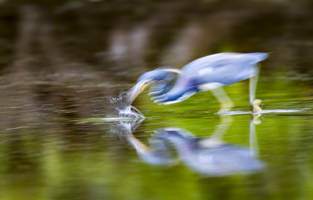 pinellas: Tricolored Heron strikes at fish in shallows