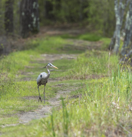 Great Blue Heron strolling down forest path