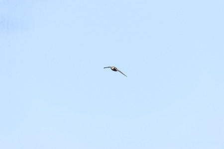 eye contact: Chimney Swift eye contact flying wings low Stock Photo