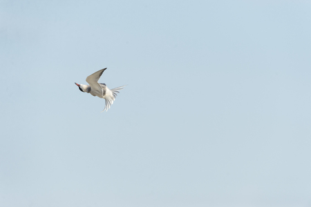 Common Tern quickly twisting during level flight