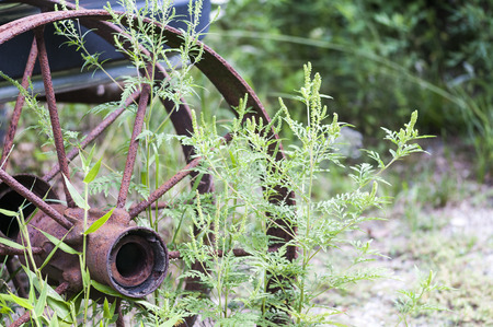 rusts: Rusted wheel on abandoned vehicle in field