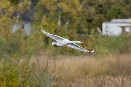 mute swan: Mute swan flying over wetlands wings spread